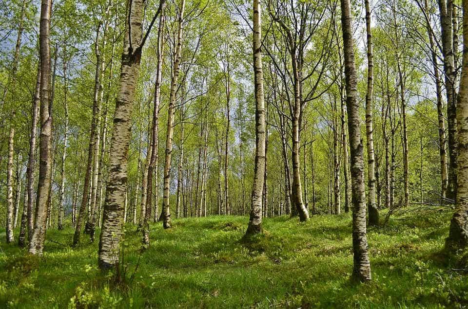 Bosque Abedul