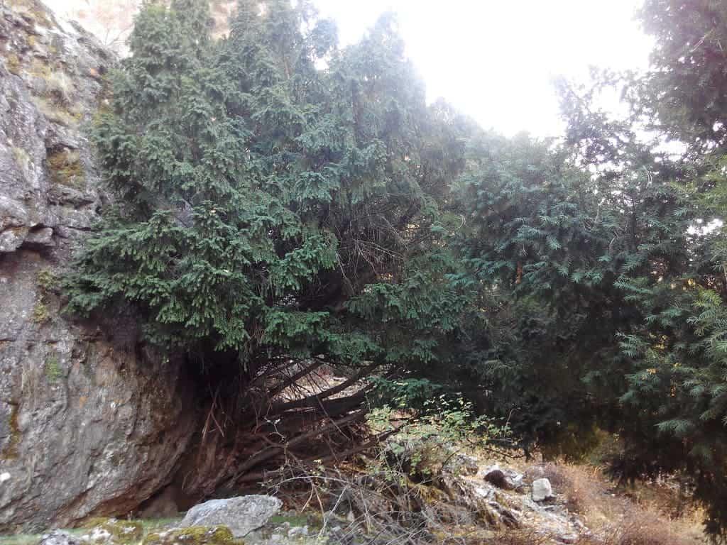 Árbol del Tejo, árbol que le da el nombre a la Sierra del Tejo